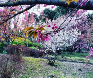Hanami la contemplazione dei Fiori, Sakura, Ciliegi, Haiku, Ciliegi in Fiore