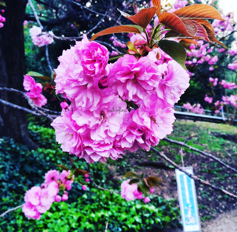 Hanami la contemplazione dei Fiori, Hanami dei Sakura, Contemplazione dei Ciliegi, Ciliegi, Haiku, Ciliegi in Fiore, Ciliegi Orto Botanico Roma, Fioritura dei Ciliegi