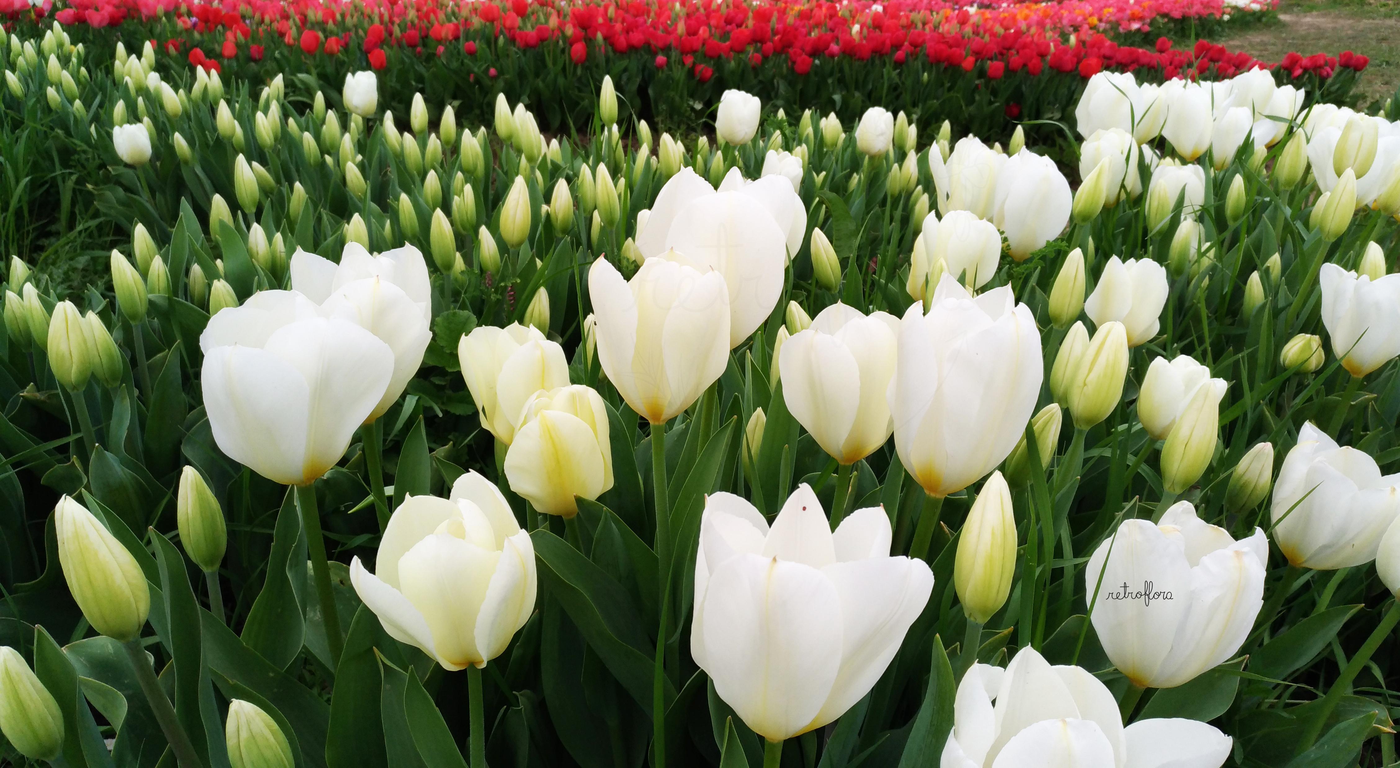Tulipark Roma, Parco U-Pick, giardino tulipani