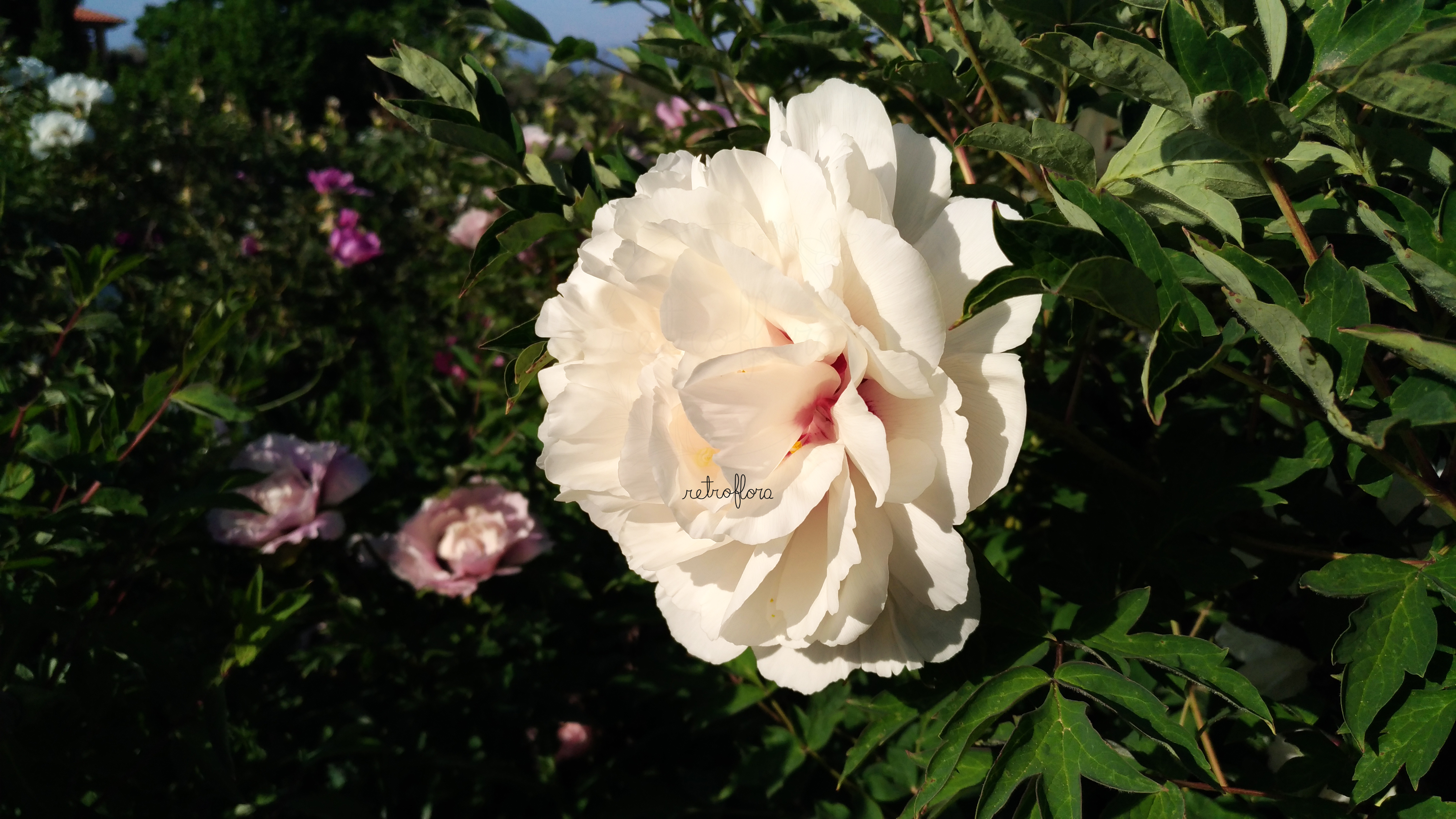 Hanami delle Peonie Parte 2, Peonia, Peonia Arbustiva, Peonia Arborea, Peonia Profumata, Peony