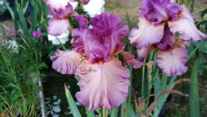 Festival del Verde e del Paesaggio, Fiere di Fiori, Iris, Florovivaismo