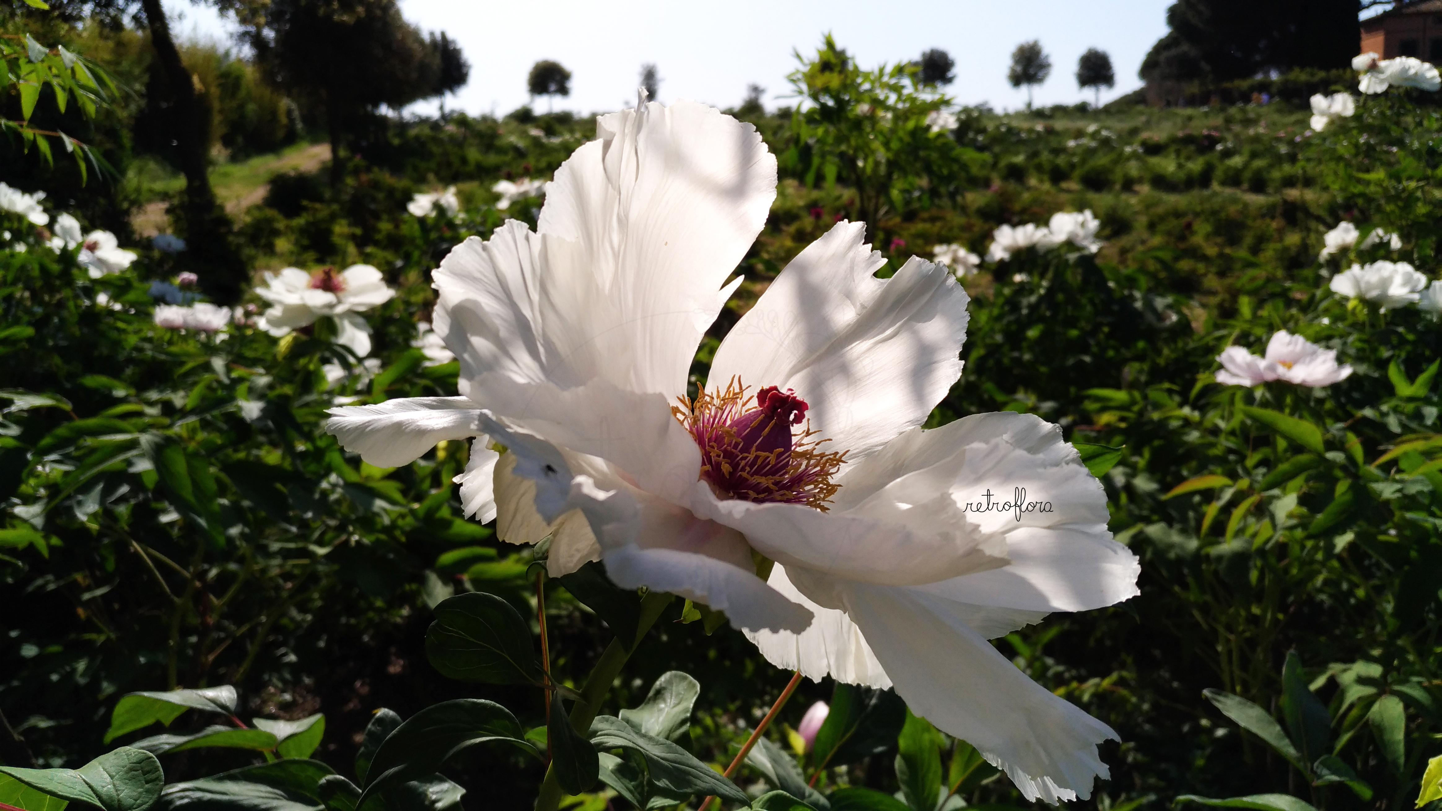 Hanami delle Peonie Parte 2, Peonia, Peonie, Peonia Arbustiva, Peonia Arborea, Peonia Profumata, Peony, Peonies