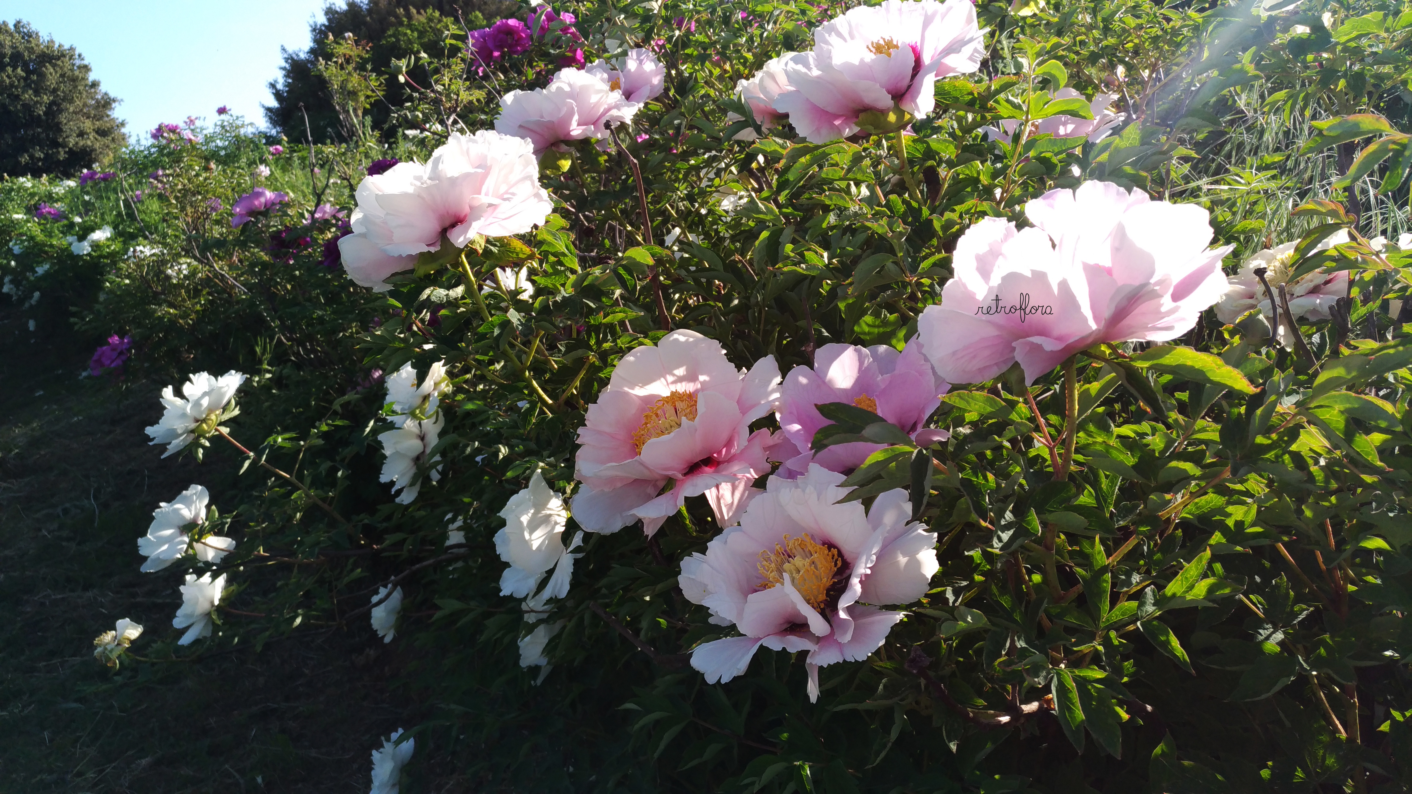 Peonia, Peonia Arbustiva, Peonia Arborea