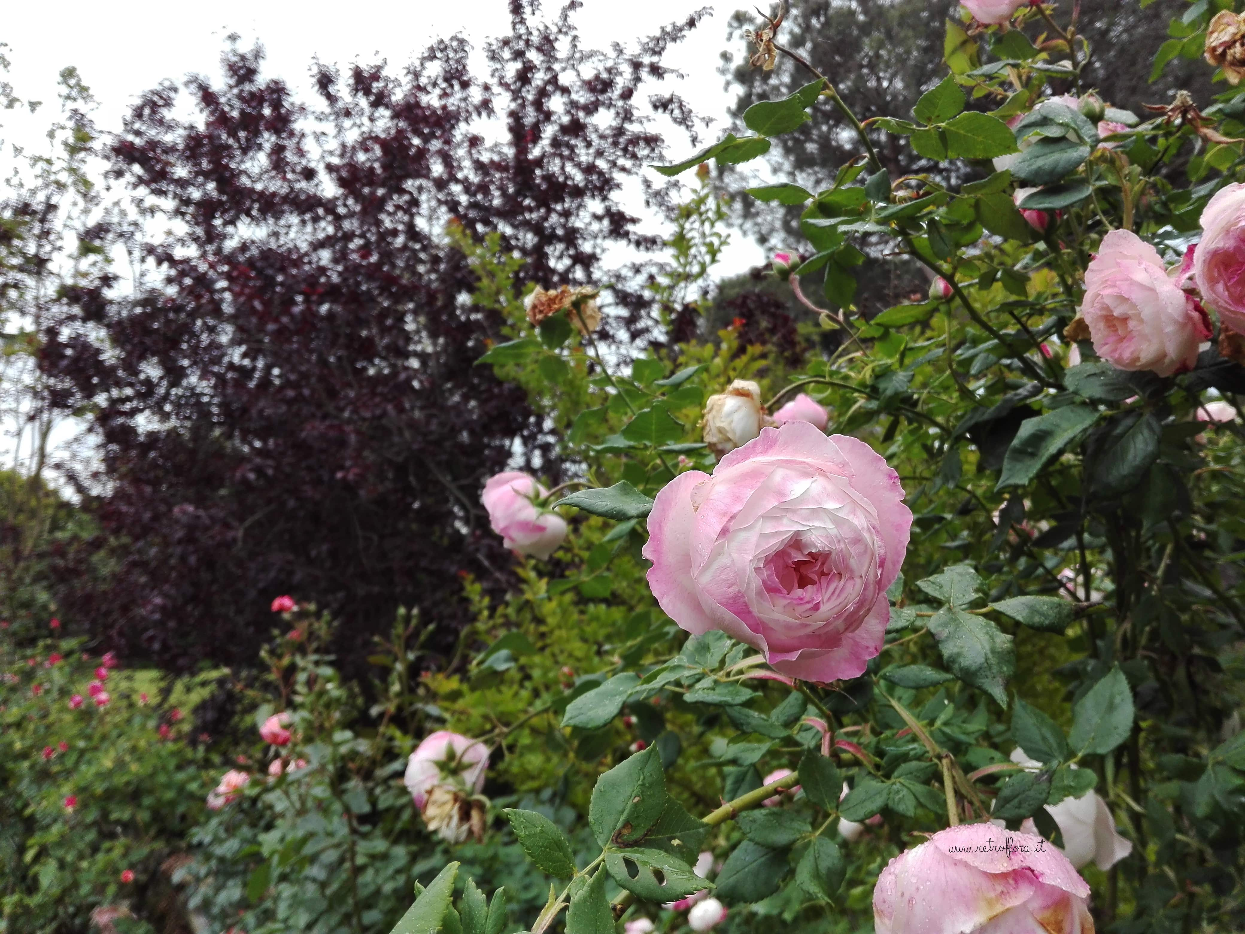 Il Giardino di Virginia Woolf, fiori libri recensione, rose rosa