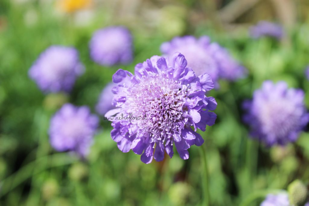Fiere di Fiori, Scabiosa, Eventi di Fiori, Mostremercato Fiori, flower show
