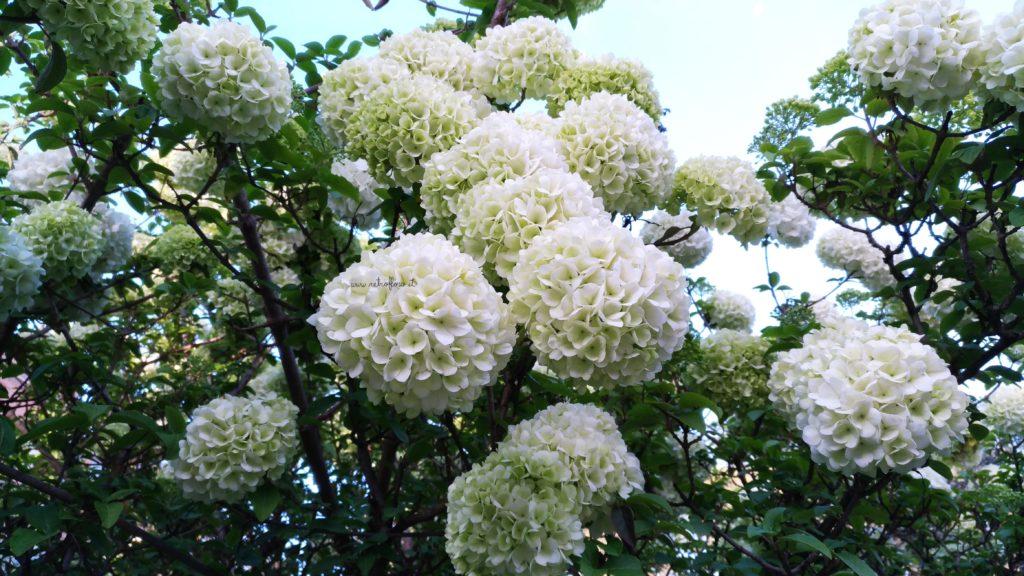 Fioritura del Viburno Snowball, Viburno, Viburnum Macrocephalum, Viburno Snowball, Orto Botanico Roma
