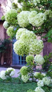 Viburno, Viburnum Macrocephalum, Viburno Snowball, Orto Botanico Roma